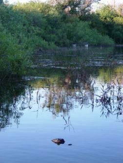 Crocodile dans les Everglades