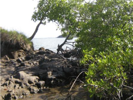 Aspect de la mangrove non loin du château Dubuc en Martinique