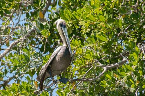 Un pélican en pleine mangrove de Margarita Island